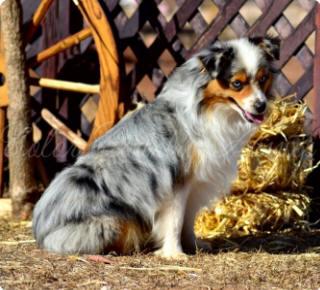 minature australian shepherd puppies