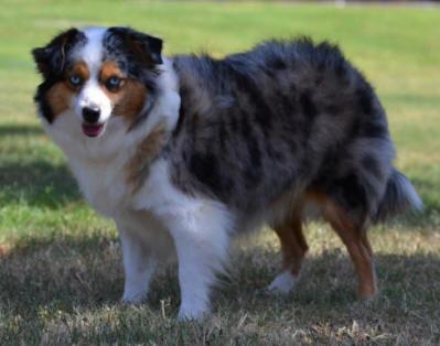 Red Merle Aussie Puppy Oklahoma Design | Dog Breeds Picture